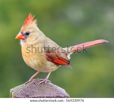 Female Northern Cardinal in Snowy Pine Tree Photographic ...  Female Cardinal In Winter