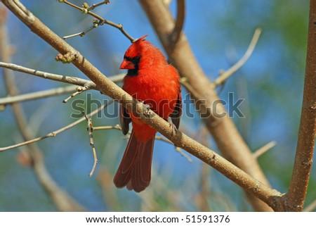 Cardinal Male - stock photo