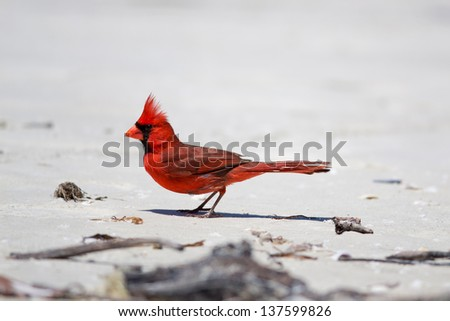 Cardinal on Fort Myers Beach, Florida. State bird of Illinois, Indiana, Kentucky, North Carolina, Ohio, Virginia and West Virginia - stock photo
