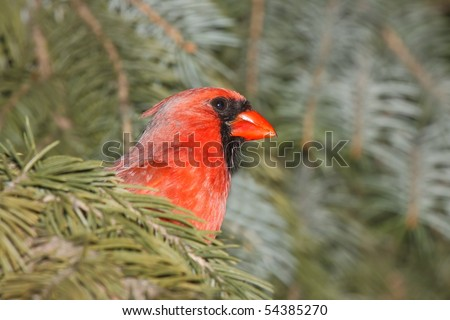 cardinal peeks its head out as it hides for cover in a blue spruce; - stock photo