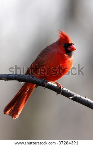 Cardinal perching on a branch