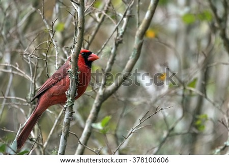 Cardinal, Red Male North American Bird, perched in a Crepe Myrtle Tree branch on a Florida Winter Day against moss and yellow and green foliage. - stock photo