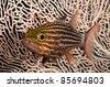 Cardinalfish over soft coral. - stock photo