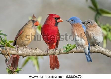 Cardinals meet the Bluebirds - stock photo