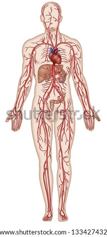 Cardiovascular System, - stock photo
