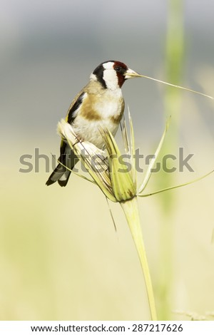 Carduelis carduelis / goldfinch in natural habitat - stock photo