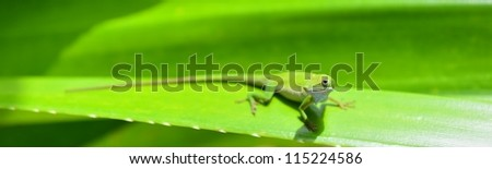 Caribbean Green Anole (Anolis Carolinensis) Lizard on the green leaf background - stock photo