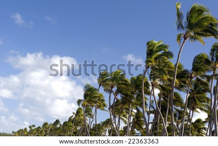Caribbean palm trees.