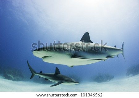Caribbean reef shark - stock photo
