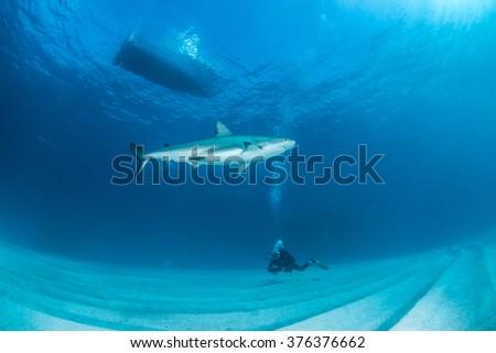 Caribbean reef shark - stock photo