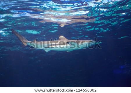 Caribbean reef shark (Carcharhinus perezii) in the blue ocean water - stock photo