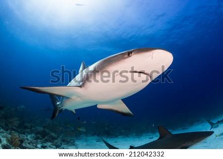 Caribbean reef shark close encounter in Bahamas - stock photo