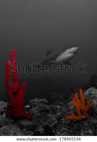 Caribbean Reef Shark in Black and White with a Splash of Color - stock photo
