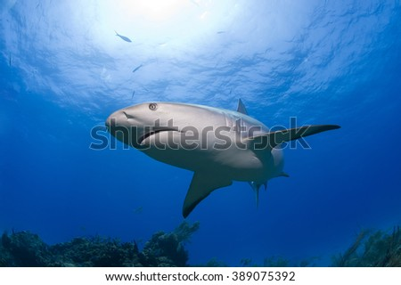 Caribbean reef shark in clear blue water with sun in the background. - stock photo