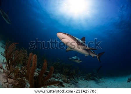Caribbean reef shark over the reef in Bahamas - stock photo