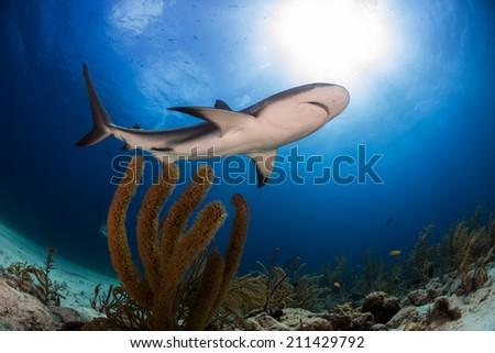 Caribbean reef shark swimming over soft coral Bahamas - stock photo