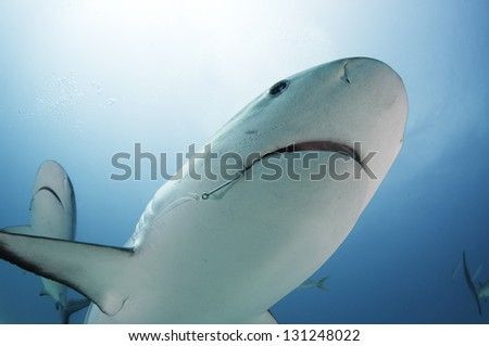 Caribbean reef shark with fishing hook in mouth - stock photo