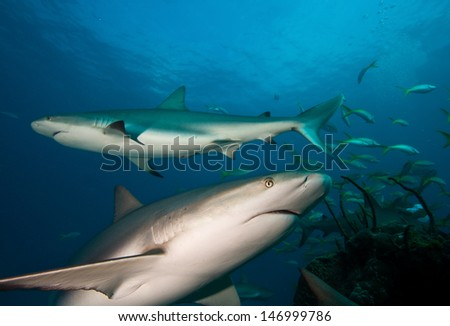 Caribbean reef sharks   - stock photo