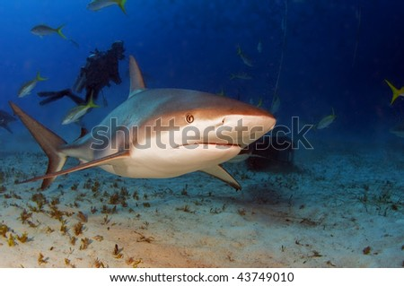 Caribbean reef sharks are incredibly fast when riled up. - stock photo