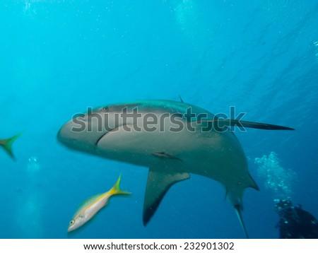 Caribbean reef sharks (Carcharhinus perezi), cuba - stock photo