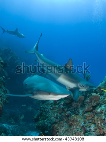 Caribbean Reef Sharks swim and eat fish above the reef at Murials Garden, a dive site located off Grand Bahama. - stock photo