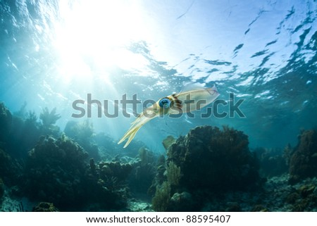 Caribbean Reef Squid (Sepioteuthis sepioidea), hovering over a tropical coral reef off the island of Roatan, Honduras. - stock photo