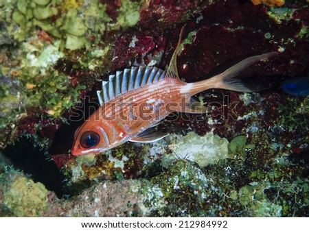 Caribbean Sea, Belize, U.W. photo, Sabre Squirrelfish (Sargocentron spiniferum) - FILM SCAN - stock photo