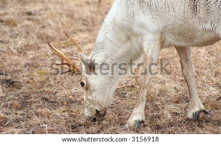 Caribou eating grass - stock photo