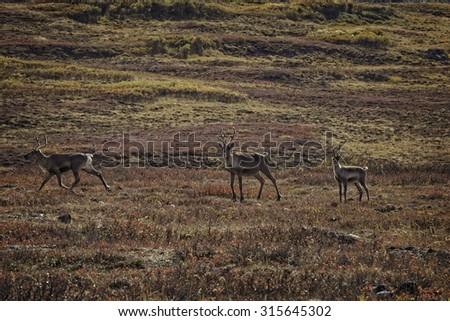 Caribou in Denali National Park - stock photo