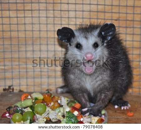 Caring for Baby Possum - stock photo