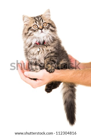 Caring human hands holding lovely Persian kitten on isolated white background - stock photo
