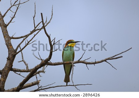 Carmine bee eater - stock photo