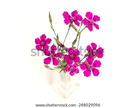 carnation (Dianthus deltoides) on a white background - stock photo