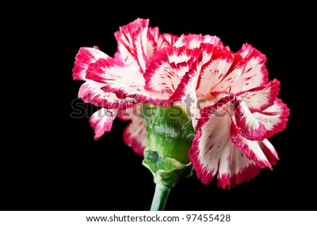 carnation flower isolated on a black background