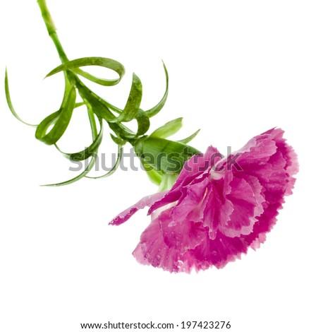 carnation flower isolated on white background - stock photo