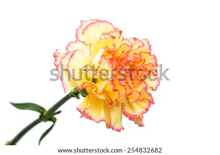 carnation flower on a white background - stock photo