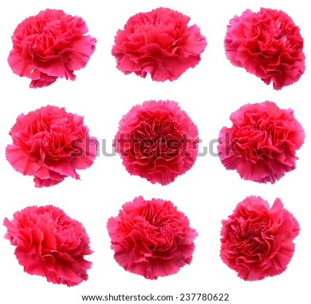 Carnation flowers isolated - stock photo