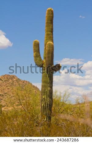 Carnegiea gigantea? - stock photo