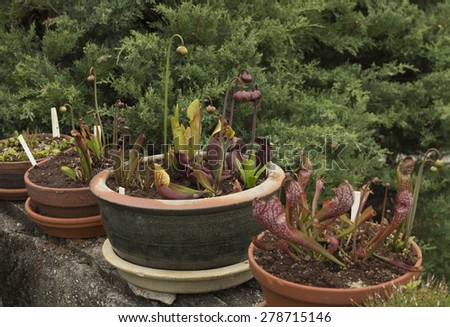 Carnivorous plants in pots - stock photo