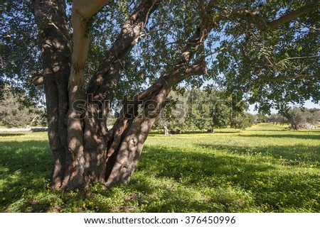 Carob Trees in sicilian landscape, Itay, Mediterranean, Europe - stock photo