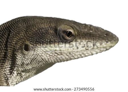 Carolina Anole lizard cutout - stock photo