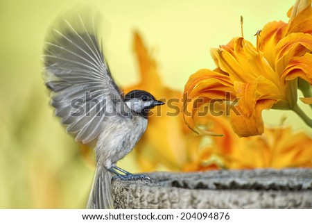 Carolina Chickadee in Day Lily Garden - stock photo