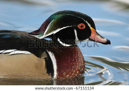 Carolina or Wood Duck - Aix sponsa