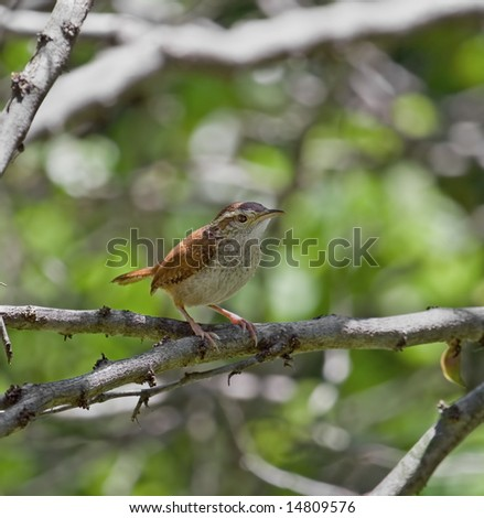 Carolina wren perched on a tree branch - stock photo