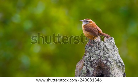 Carolina Wren Perched with Green Background - stock photo