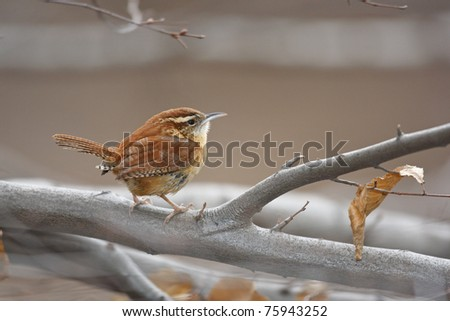 Carolina Wren (Thryothorus ludovicianus ludovicianus), Northern subspecies, foraging on a tree in New York City's Central Park. - stock photo