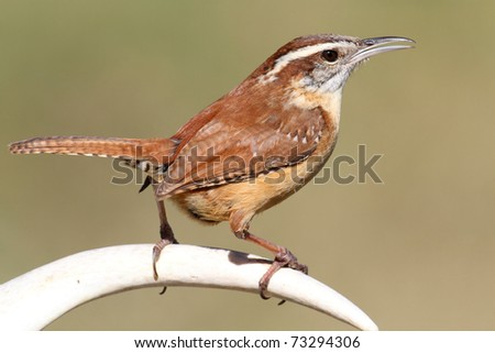 Carolina Wren (Thryothorus ludovicianus) singing on a deer antler with a green background - stock photo