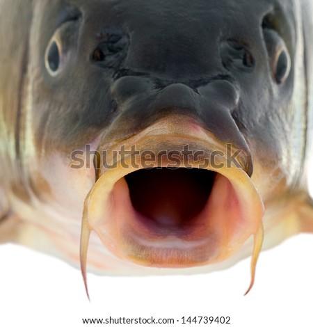 carp fish close up on a white background . - stock photo