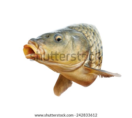 Carp fish head with open mouth - stock photo
