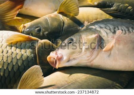 Carp fishing - stock photo
